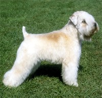 soft_coated_wheaten_terrier